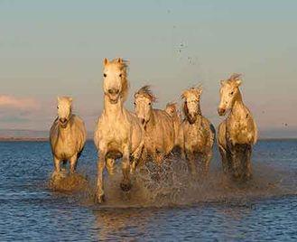 White Horses Of The Camargue