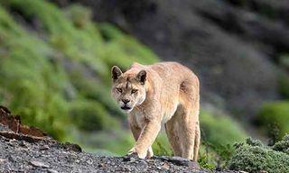 Pumas, Condors & Landscapes In Winter