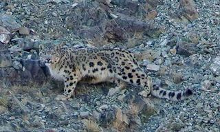 Mongolia: Cats Of Mountain And Steppe
