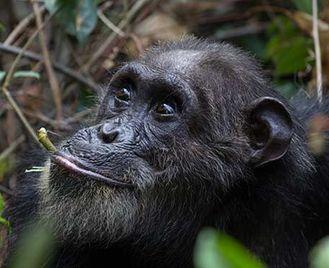 Migration & Chimps