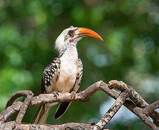 West African Birdwatch