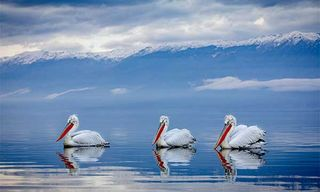 Pelicans Of Lake Kerkini