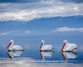 Pelicans Of Lake Kerkini