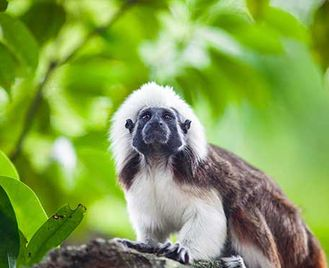 Colombia'S Rare Primates With Kate Humble