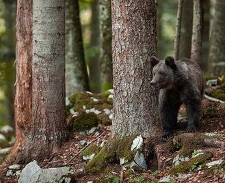 Brown Bear Photography In Autumn