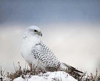 Northern Lights & Lapland Birds