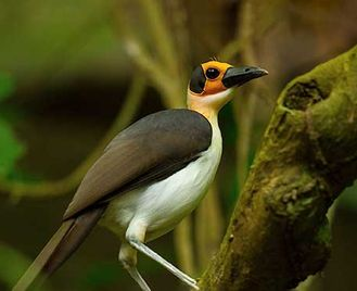 Quest For The Picathartes