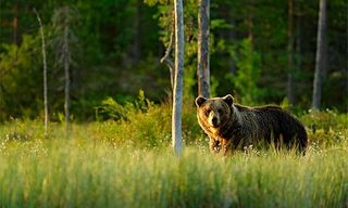 Finland'S Brown Bears In Style