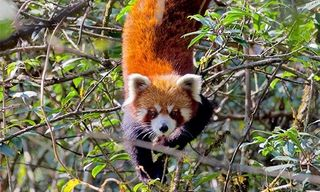 India'S Tigers, Snow Leopards And Red Pandas