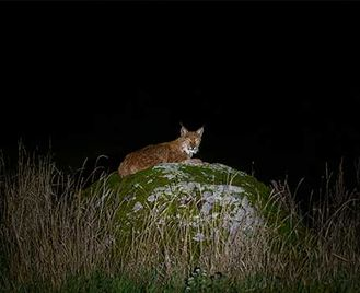 Eurasian Lynx Quest