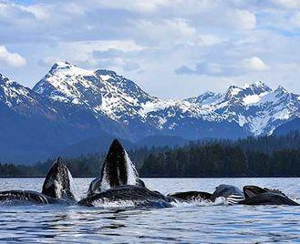 Alaska'S Humpback Bubble-Net Bonanza