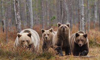 European Festival Of Bears