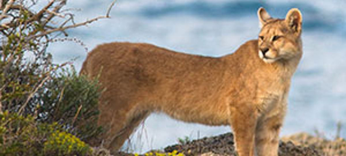 Disciplinario enfermero Abiertamente  Puma-Tracking In Southern Chile | Wildlife Worldwide | Wanderlust Trip  Finder
